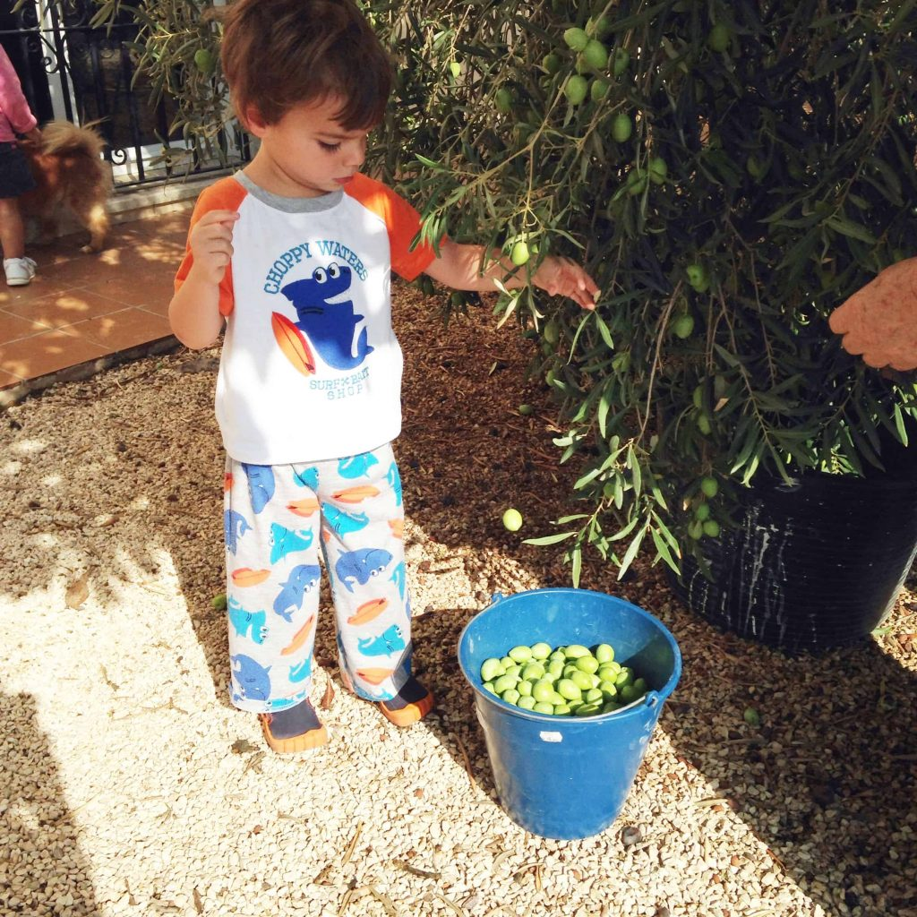 picking olives from the tree