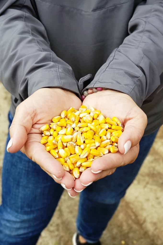 woman holding corn kernels in hand